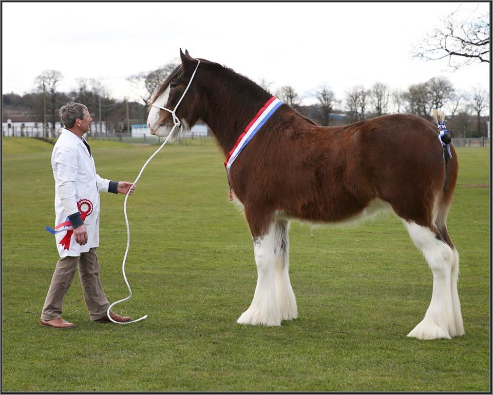 SEBA - Horse of The Year Winners - Great News for Clydesdales